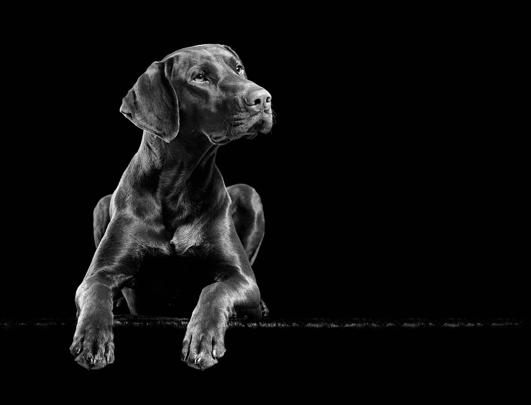 Studio fine art dog photographer Shropshire - German Short-haired Pointer