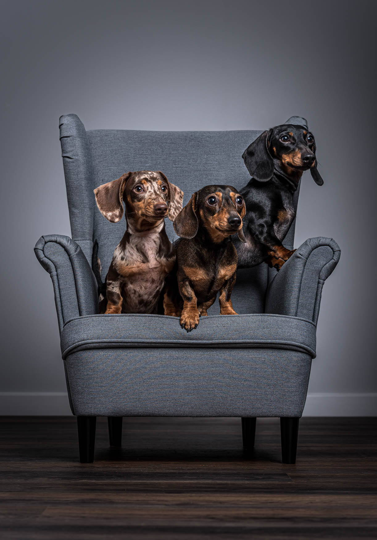 Fine art studio dog photographer Yorkshire - Dapple black and tan Miniature Dachshund puppies