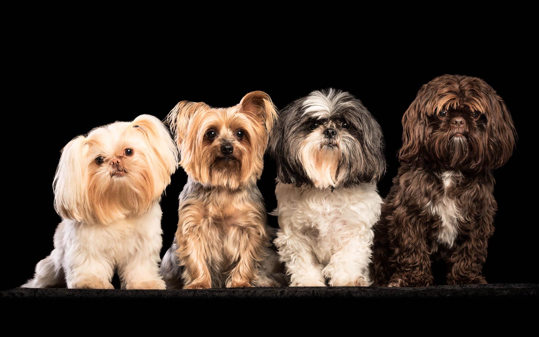 Fine art studio dog photographer North Wales - Shitzhus