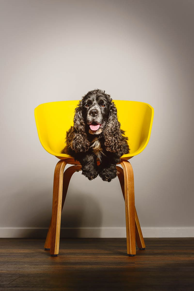 Fine art studio dog photographer Shropshire - Show Cocker Spaniel in chair