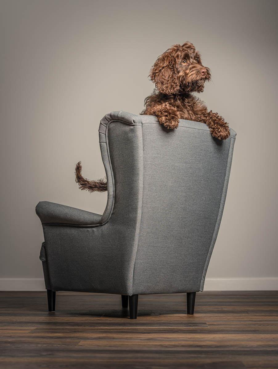 Fine art studio dog photographer Shropshire - Cockapoo puppy