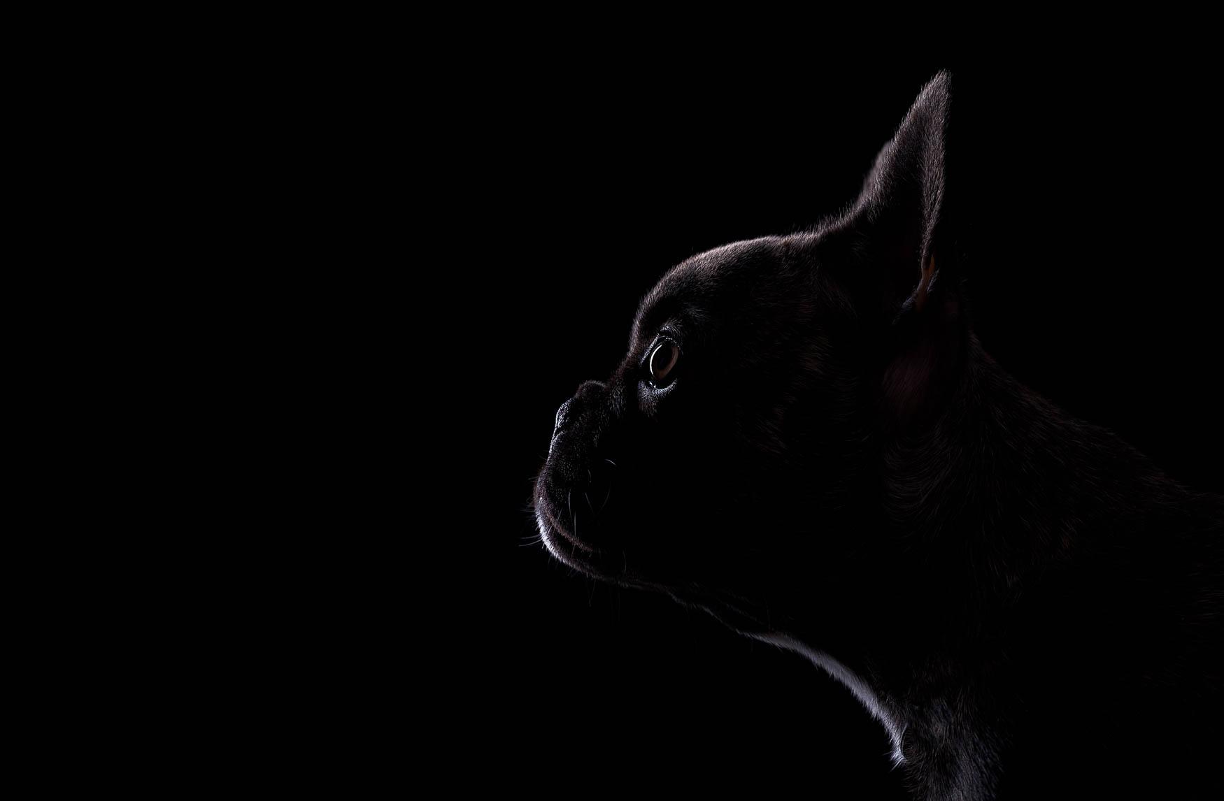 Fine art studio dog photographer Cheshire - French Bulldog puppy
