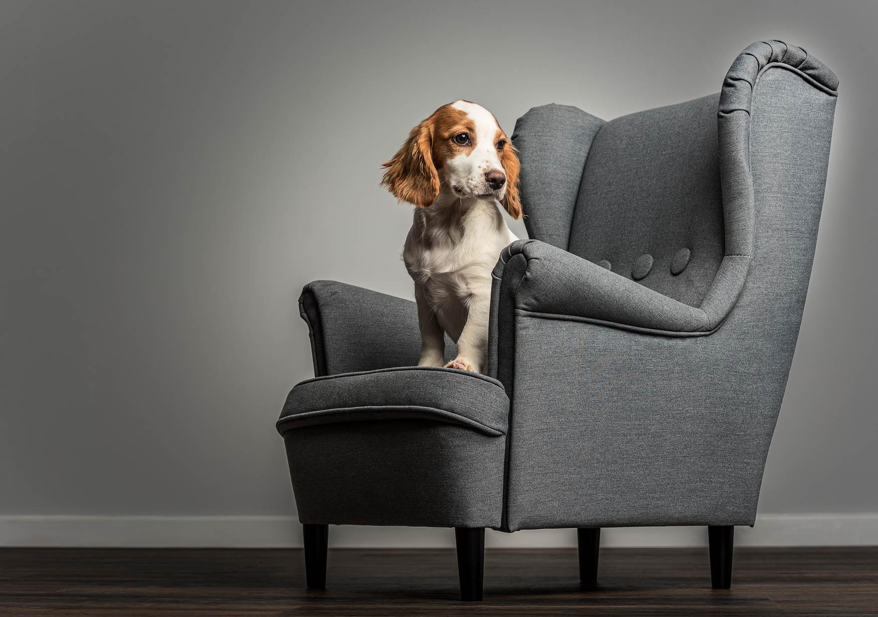 Studio fine art dog photographer Cheshire - Cockapoo puppy