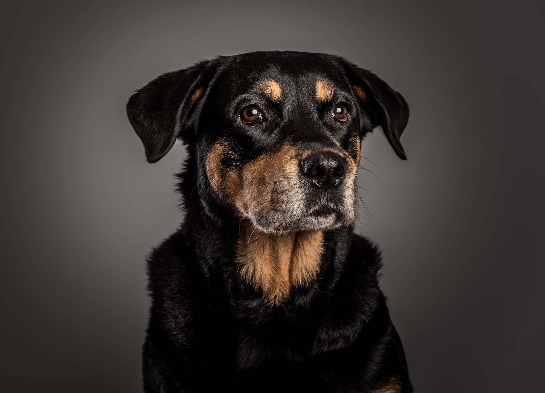 Studio fine art dog photographer Cheshire - Rottweiler X