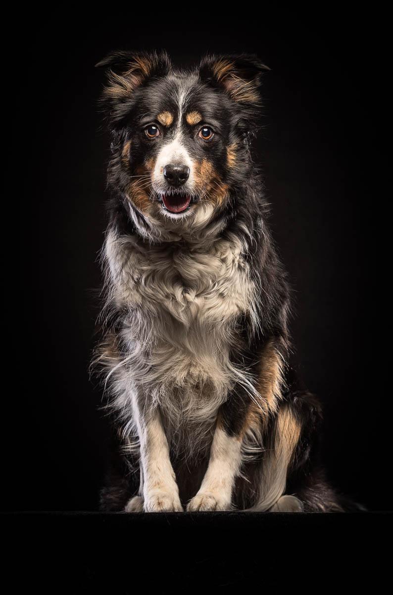 Studio fine art dog photographer Cheshire - Border Collie