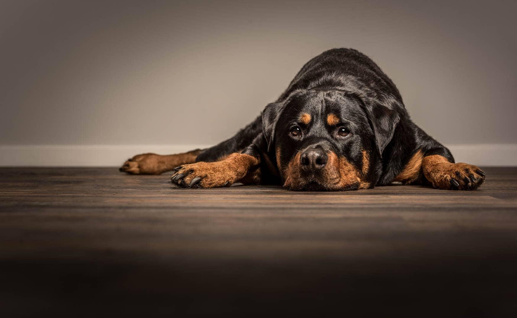 Studio fine art dog photographer Cheshire - Rottweiler