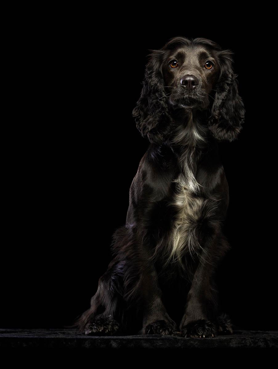 Studio fine art dog photographer Cheshire - Sprocker