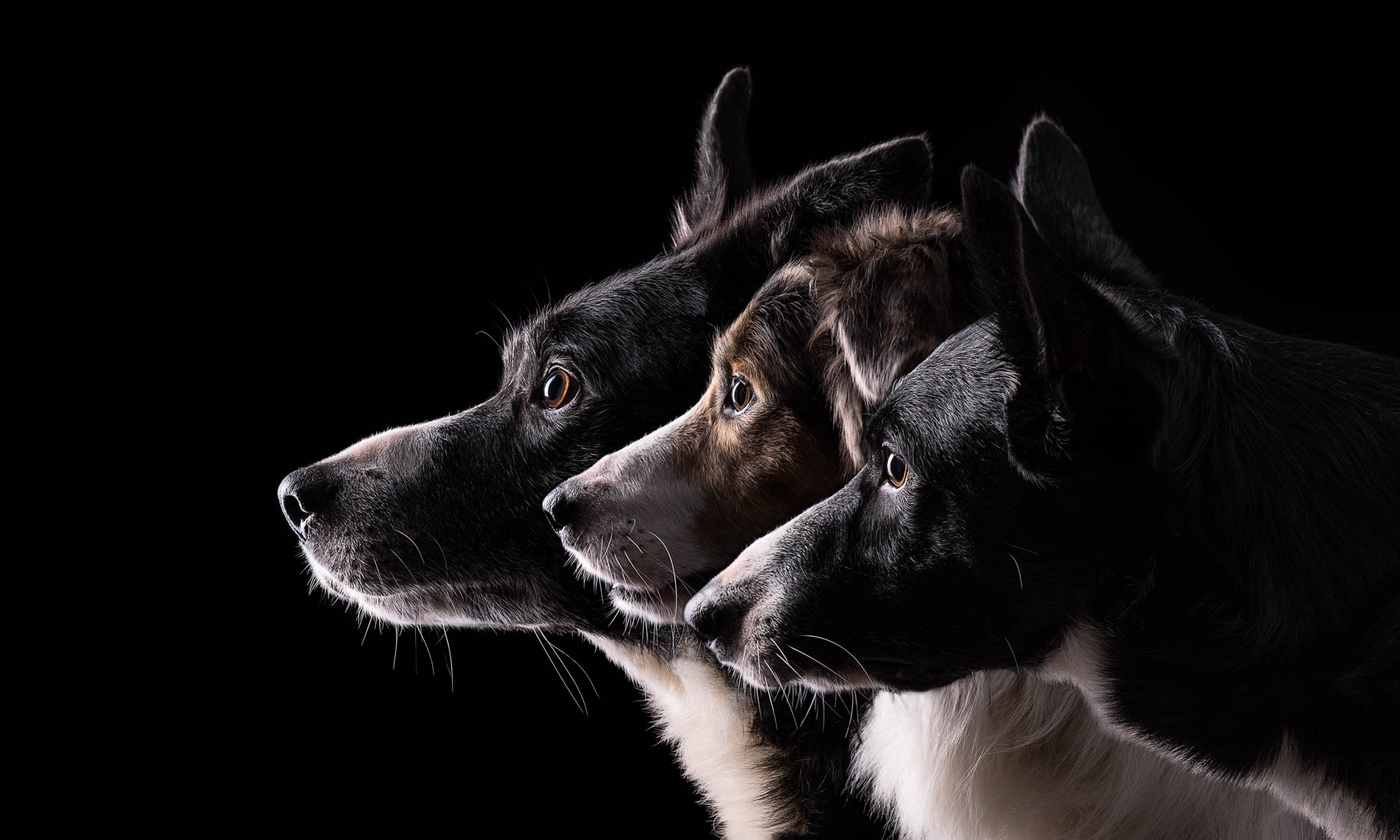 Beautiful multi-dog studio photography for Cheshire and North Wales