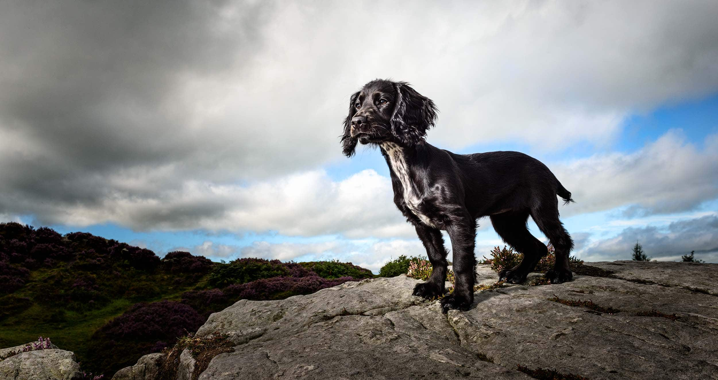Working-Cocker-Spaniel-Puppy-Perfect-Dog-Photography-Cheshire