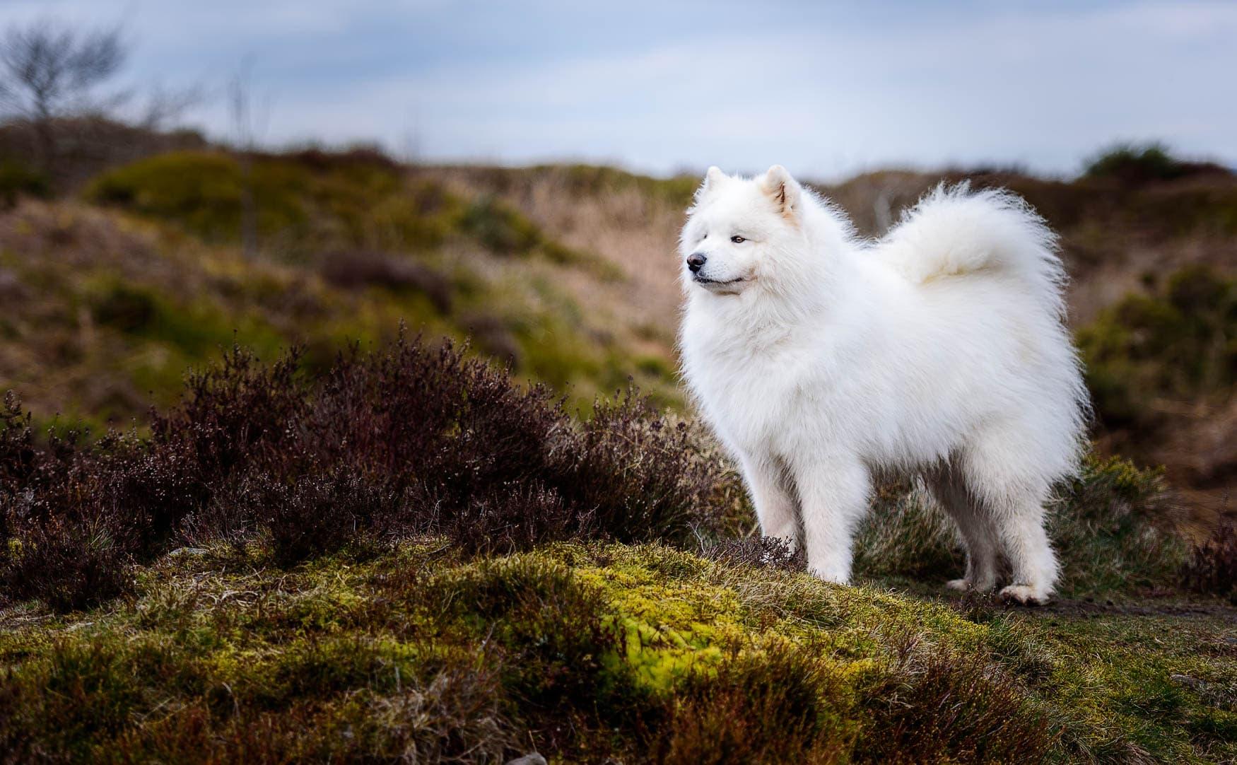 North Wales Dog Photographer - Samoyed