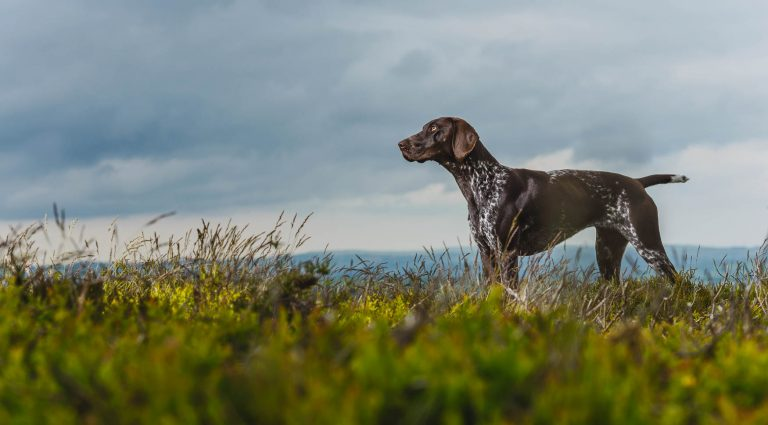 German Short-haired Pointer - GSP - Award winning location dog photography