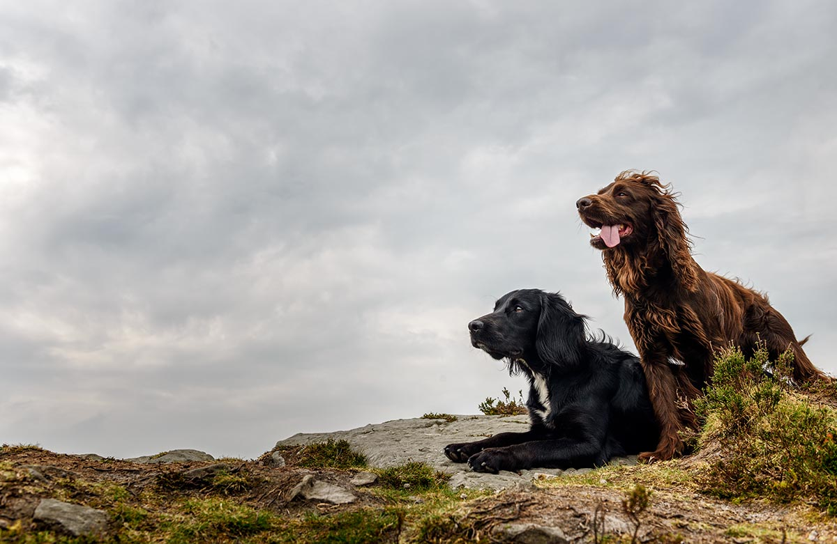 spaniels-on-a-lead-after