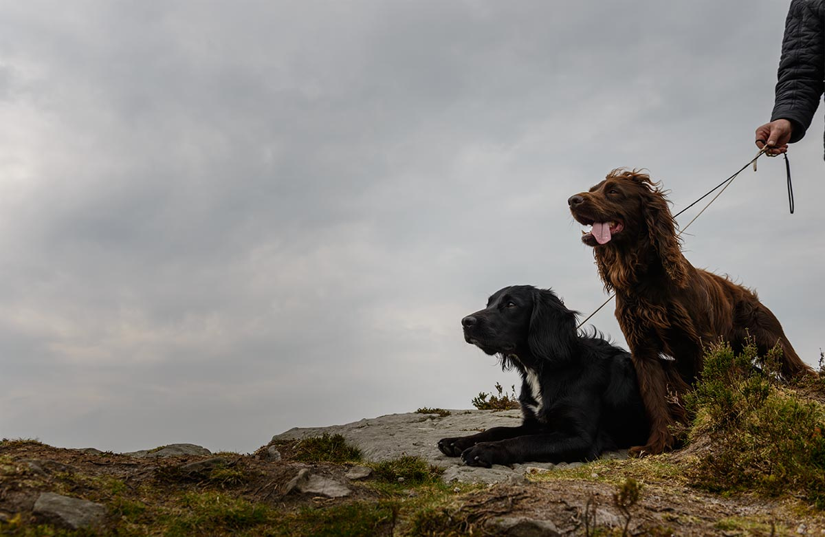 spaniels-on-a-lead-before