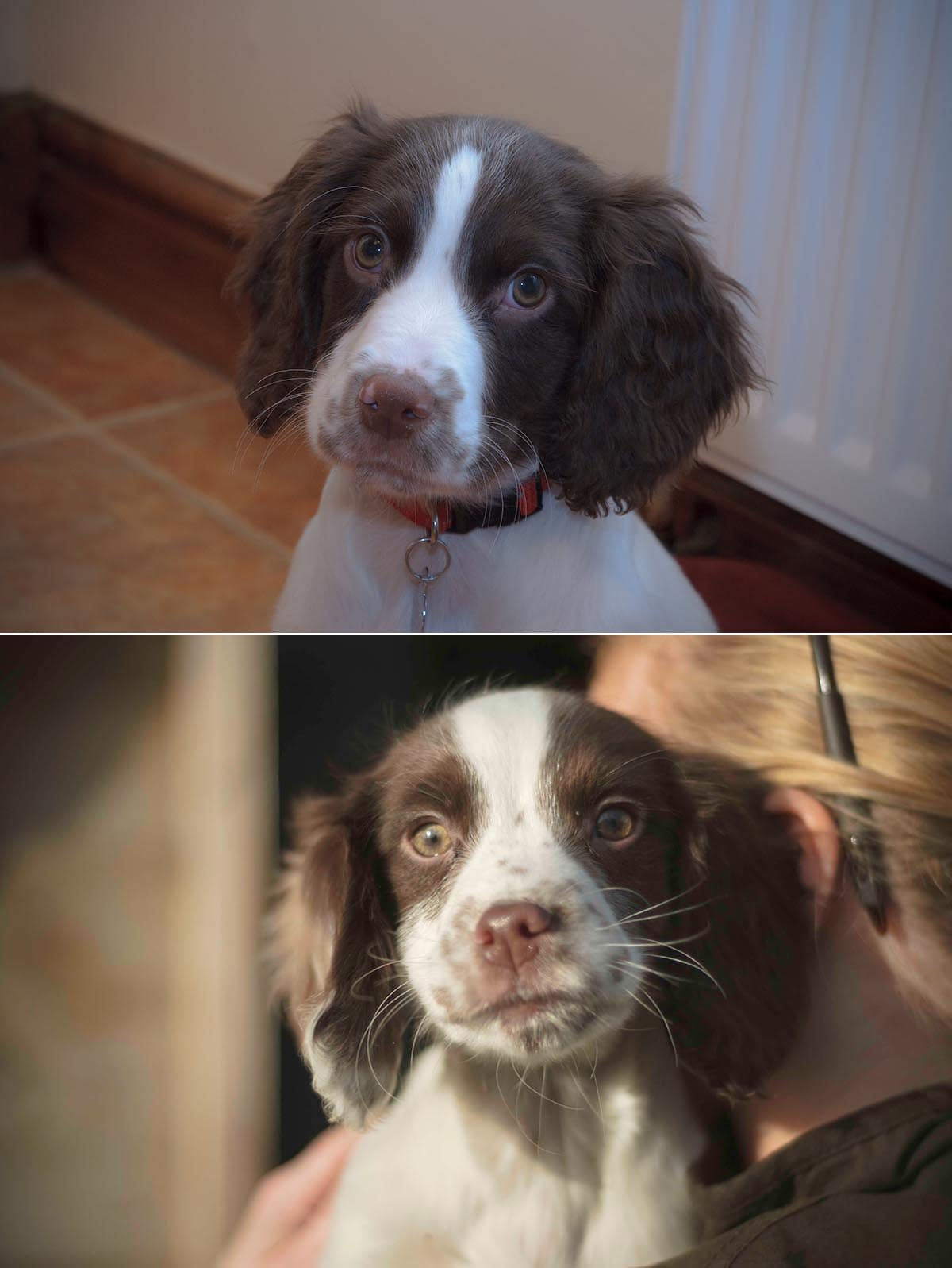 Coping-with-loss-dog-Springer-Puppies