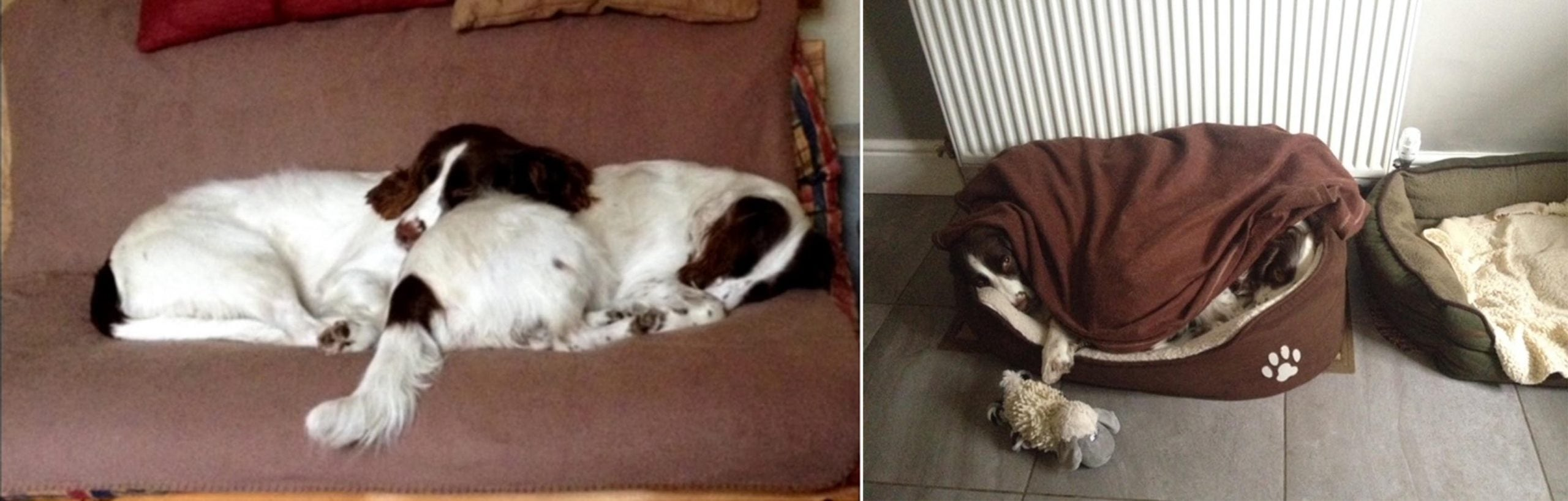 Coping-with-loss-dog-Springer-in-bed