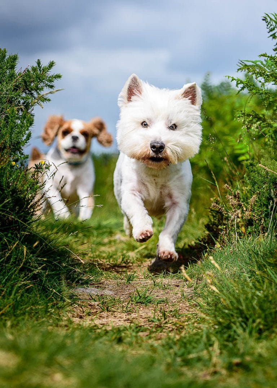 Chester Dog Photographer – West Highland Terrier